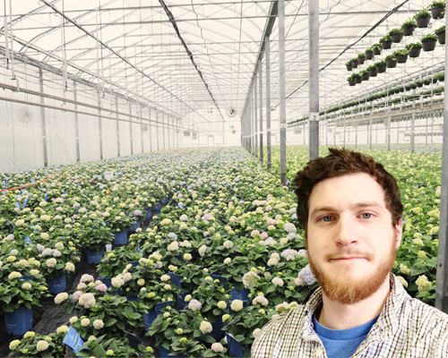 Commercial Greenhouse Hydrangea Grower