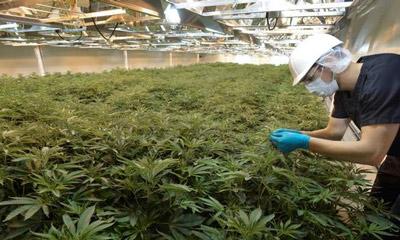 Marijuana Warehouse Production   GGS Structures Inc ...