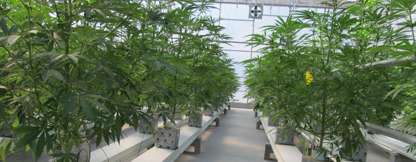 Marijuana Blog Commercial Greenhouse Structures