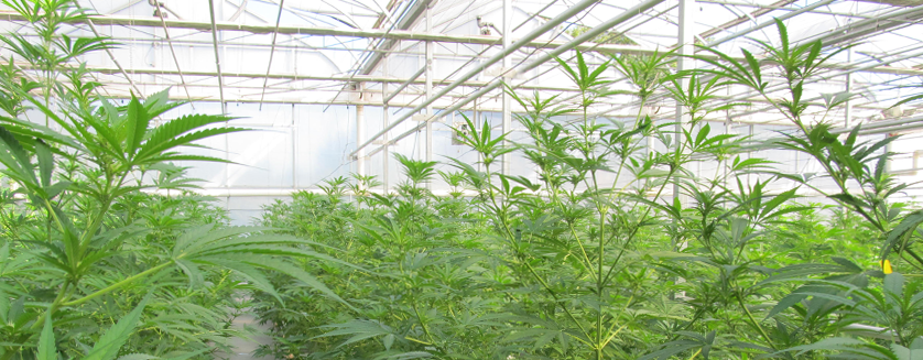 how to make a greenhouse for weed