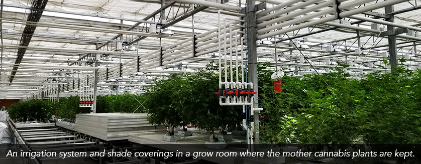 Irrigation system and shade coverings in a grow room where the mother plants are kept.