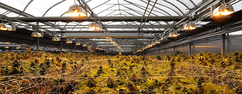 Designing A Greenhouse For Medical Cannabis Cultivation Commercial Greenhouse Structures