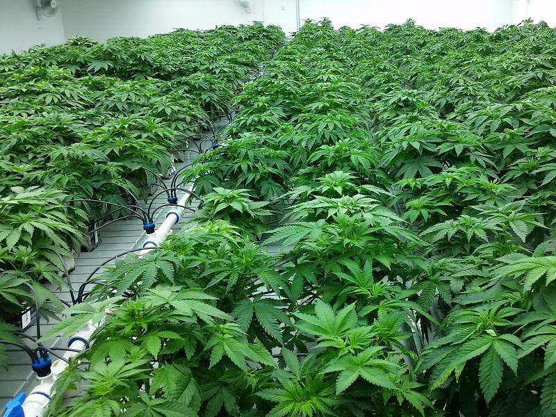 Marijuana Greenhouse Amp Indoor Grow Photo Gallery Test 2