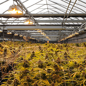 The 10 Most Common Misconceptions About Growing Cannabis