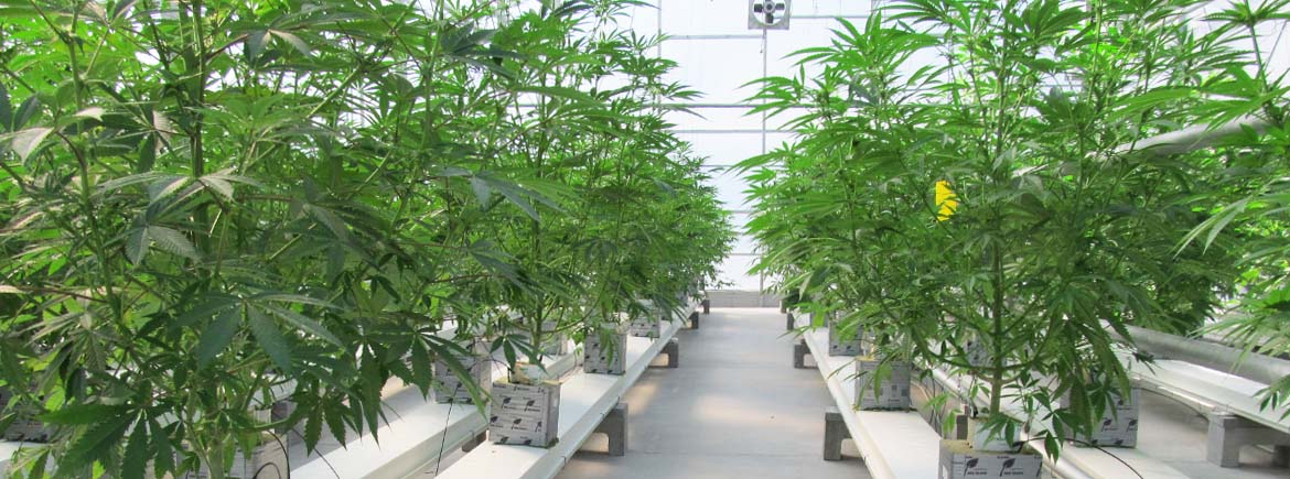 Marijuana Greenhouses : Commercial Greenhouse Structures : Systems Design : GGS