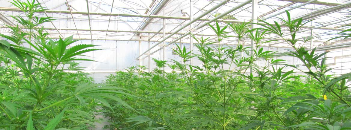 marijuana-greenhouse-slide.jpg